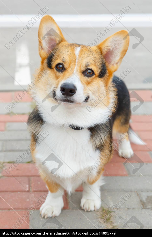 dog, pembroke, welsh, corgi, smiling - 14095779