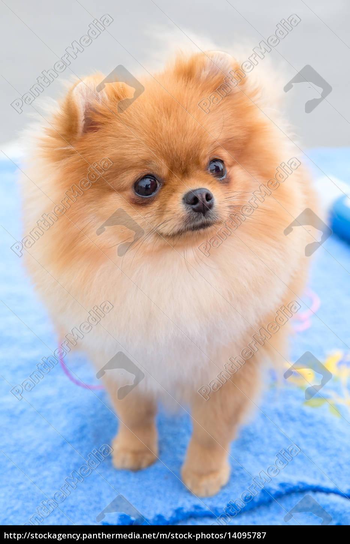 dog, sable, german, toy, pomeranian, breed - 14095787