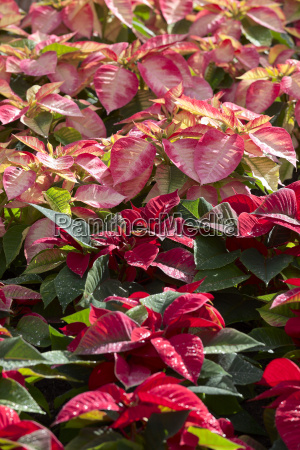 poinsettia, plants - 14098593