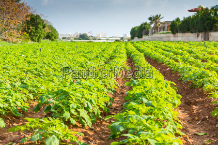 potato field with green bushes