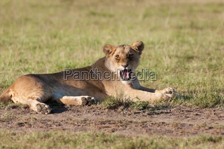lion, - 14099785