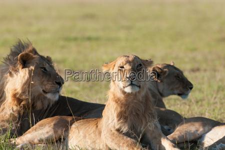 lion, - 14099787