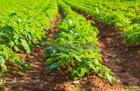 potato, field, with, green, bushes - 14099475