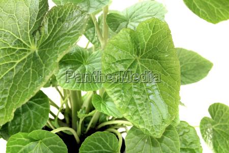 wasabi leaves
