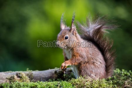 squirrel sciurus vulgaris image 11