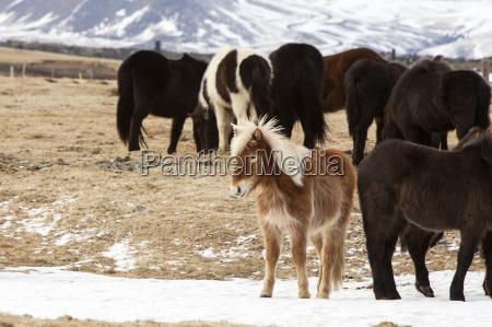 herd of icelandic horses in snowy