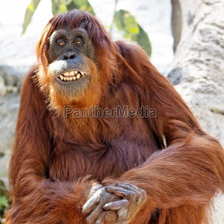orangutan sitting grinning at the camera