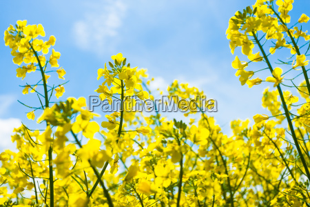 canola with blue skies