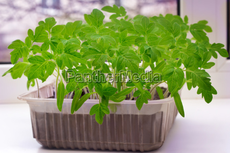 young tomato seedlings in the container