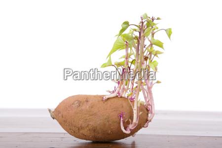 potato sprouting