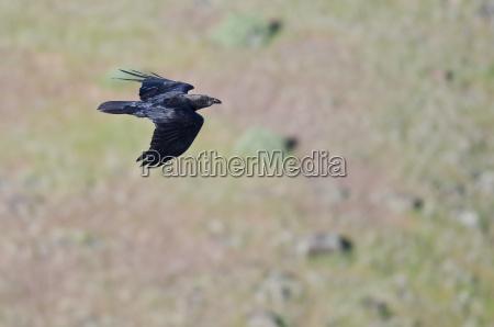 common raven in flight seen from