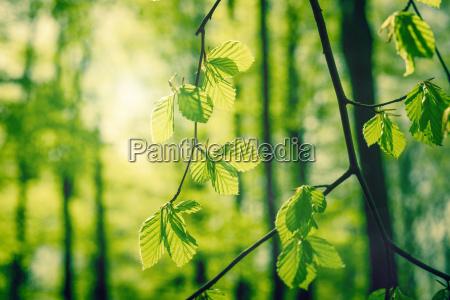 folhas de faia na primavera