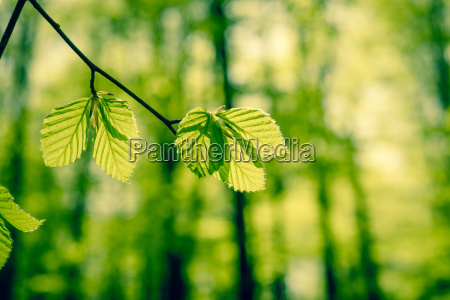 forest with beech leaves