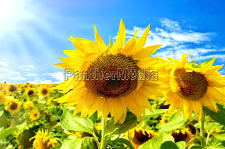 sunflowers on a background of blue