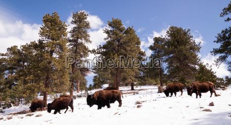 north american bison buffalo roam hillside