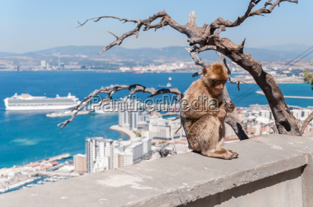 barbary macaque monkey in gibraltar