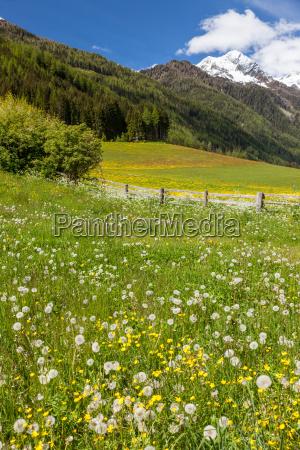 tirol do sul prado flor prado