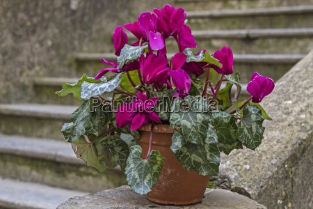cyclamen front stairway