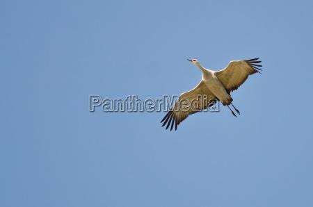 lone sandhill crane flying in a