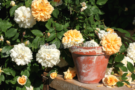 rumbler roses with flower pot