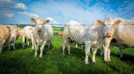 pasture with white cows