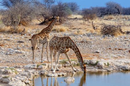 giraffa camelopardalis drinking from waterhole in