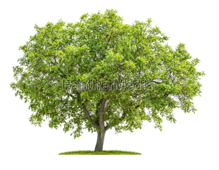 walnut tree against a white background