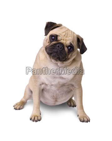 breed dog pug isolated on white