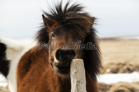 brown icelandic horse scratches on the
