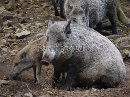 boar family in forest