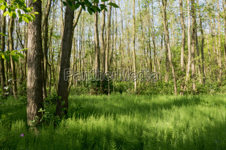 forest with horsetail