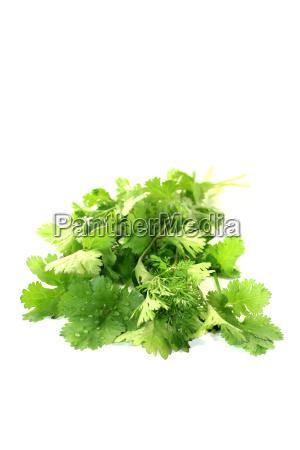 real green cilantro
