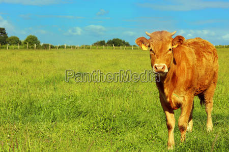 breton cattle