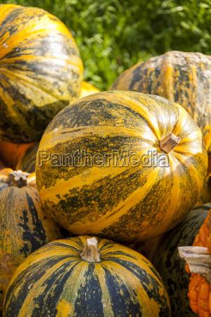 oil lady godiva cucurbita pumpkin pumpkin