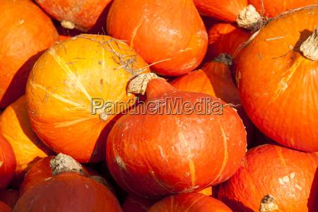 red red hokkaido cucurbita pumpkin pumpkin