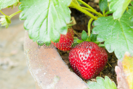 red strawberry fruit in pot and