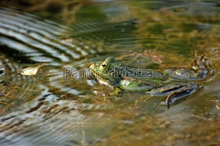 teichfrosch with sound waves in the