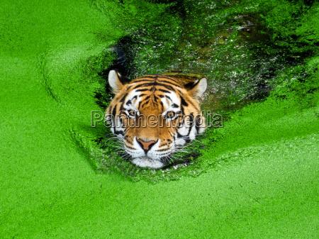 siberian tiger swimming in water