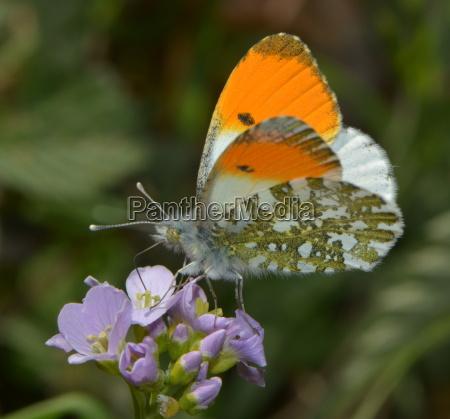 aurorafalter on a flower