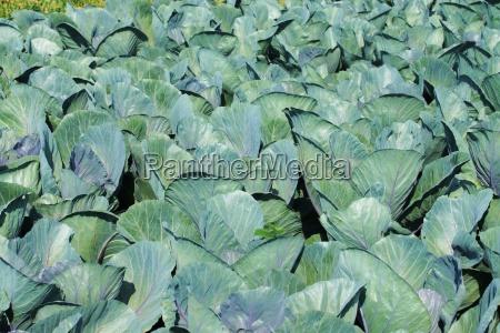 cabbagefeald
