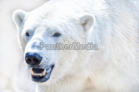 polar bear in closeup