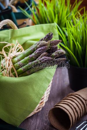 fresh green asparagus with garden tools