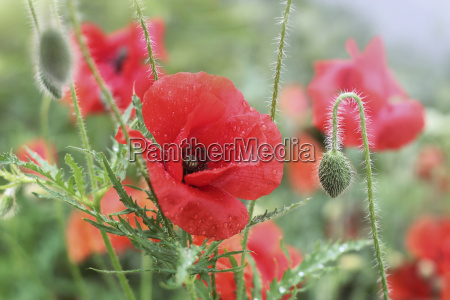 poppies after an irrigation