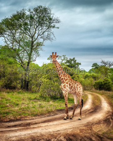 south african wild giraffe