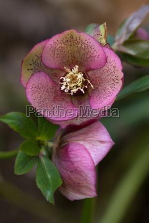rosa christrose pink christmas rose