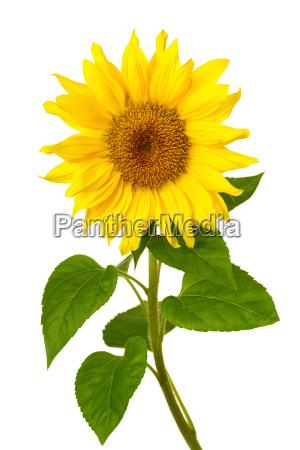 fresh sunflower on white