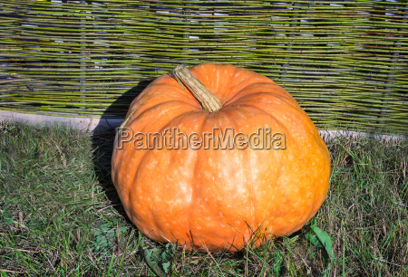 one big pumpkins lie at a