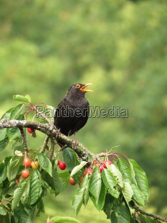 blackbird in the cherry tree