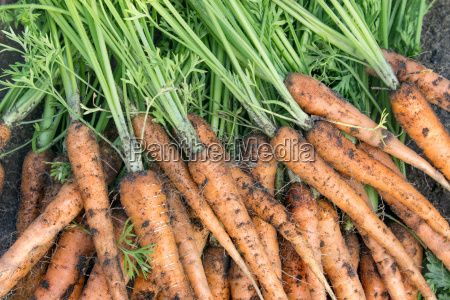 freshly harvested carrots with soil