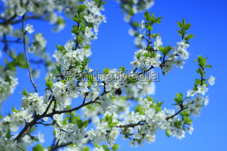 blossoming spring tree and the blue